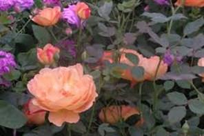 David Austin Roses & Cream tea- Shropshire