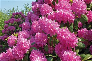 Rhododendrons in Norfolk