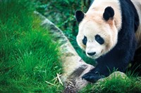 Grand Scottish & Giant Panda Experience on GOLD